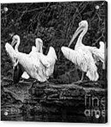 Pelicans Mono Acrylic Print
