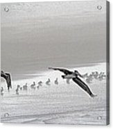 Pelicans Off For A Foggy Day Of Fishing Acrylic Print