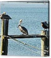 Pelicans On A Break Acrylic Print by Mel Steinhauer