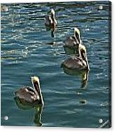 Pelicans On The Water In Key West Acrylic Print