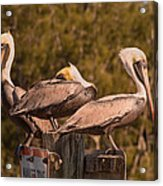 Pelicans On Watch Acrylic Print