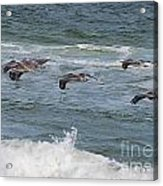 Pelicans Over The Water Acrylic Print