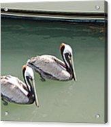 Pelicans Partners Acrylic Print