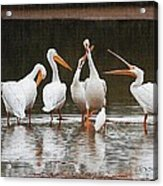 Pelicans Singing Auld Lang Syne Acrylic Print