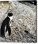 Penguin Chilling On Rock At Boulders Beach Cape Town  Acrylic Print
