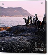 Penguins Mountain Boulders Beach Cape Town Acrylic Print