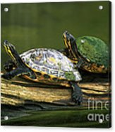 Peninsula Cooter Turtles Acrylic Print