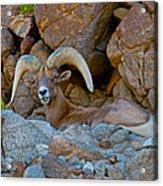 Peninsular Desert Bighorn Acrylic Print