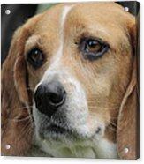 The Beagle Named Penny Acrylic Print