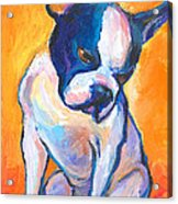 Pensive Boston Terrier Dog  Acrylic Print