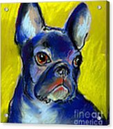 Pensive French Bulldog Portrait Acrylic Print by Svetlana Novikova