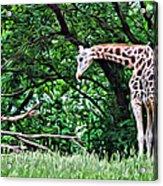 Pensive Giraffe Acrylic Print