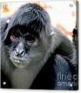 Pensive Monkey Acrylic Print
