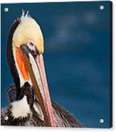 Pensive Pelican Acrylic Print