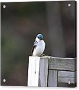 Pensive Tree Swallow Acrylic Print