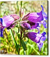 Penstemon On Miles Canyon Trail To Canyon City Near Whitehorse-yk  Acrylic Print