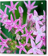 Pentas 'cranberry Punch' Flowers Acrylic Print