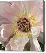 Peonie In Soft Pink Acrylic Print