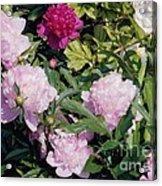 Peonies In Pinks Acrylic Print