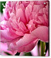 Peonies In The Pink Acrylic Print