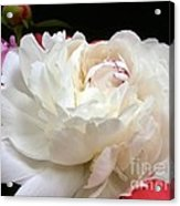 Peony Addiction Acrylic Print