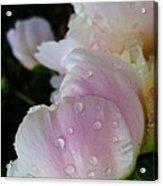 Peony Blossom After A Rain Acrylic Print