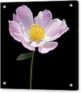 Peony Flower Portrait Acrylic Print