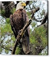 Perched After The Hunt Acrylic Print