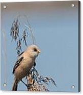 Perched Bearded Reedling Juvenile Acrylic Print