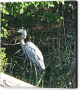 Perched Blue Heron Pondering Acrylic Print
