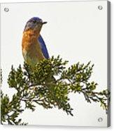 Perched Eastern Bluebird Acrylic Print