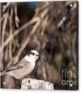 Perched Grey Jay Perisoreus Canadensis Watching Acrylic Print
