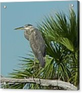 Perched Heron Acrylic Print