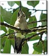 Perched Hummingbird Acrylic Print