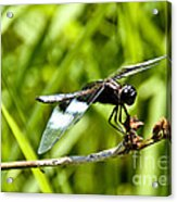 Perched Widow Skimmer Acrylic Print