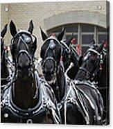 Percheron Horse Team 2008 Acrylic Print