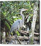 Perching Blue Heron Acrylic Print