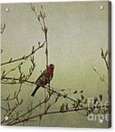 Perching Finch Acrylic Print