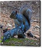Perching Squirrel Acrylic Print