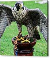 Peregrine Falcon # 1 Acrylic Print