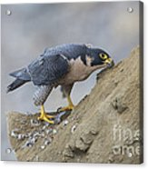 Peregrine Cleaning Beak Acrylic Print