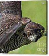 Peregrine Falcon 4 Acrylic Print