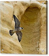 Peregrine Falcon Flying By Cliff Acrylic Print