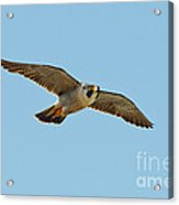 Peregrine Falcon In Flight Acrylic Print
