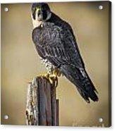 Peregrine Falcon Acrylic Print