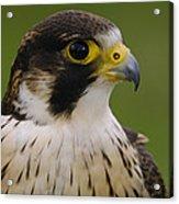 Peregrine Falcon Portrait Ecuador Acrylic Print