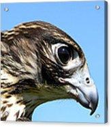 Peregrine Falcon Tashunka Acrylic Print