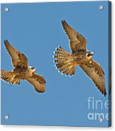 Peregrine Siblings Chasing Each Other Acrylic Print