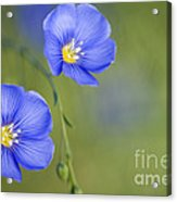Perennial Flax Flowers Acrylic Print