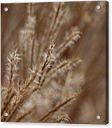Perennial Grass Acrylic Print